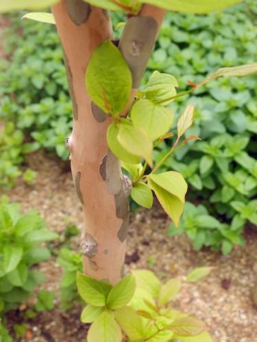 何もなかったつるつるの木肌から、芽吹いた!