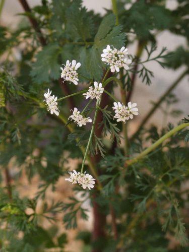 コリアンダーの花。個性的な香りとは対照的に、小さくてつつましやかでかわいい。