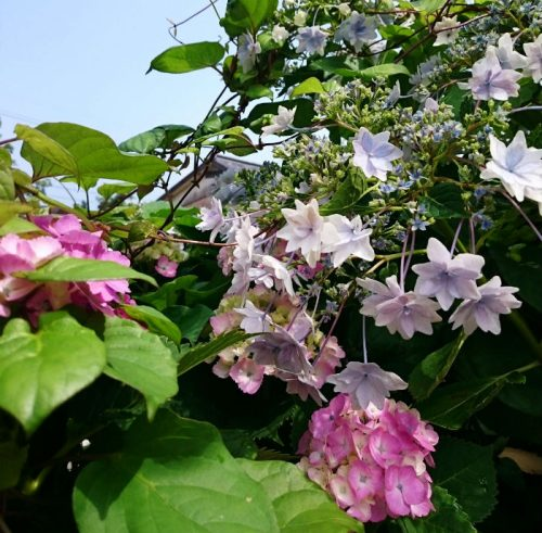 紫陽花にもNamaste!