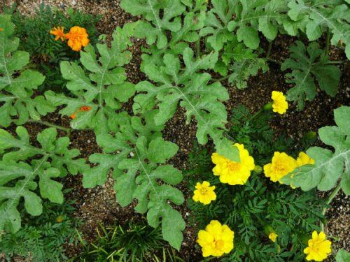 マリーゴールドの花壇が、今年はこんなことに。この先どうなるかはお楽しみ!