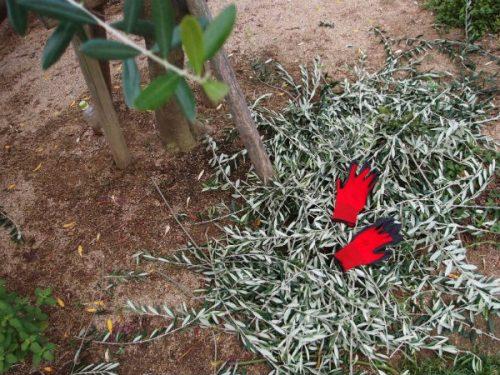 剪定したオリーブの枝はざっとこの倍くらい。 Mさん、赤いグローヴありがとうございます。