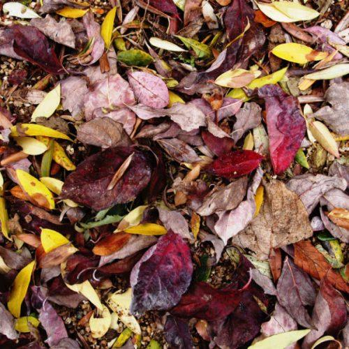 落ち葉拾いに没頭できるって楽しい。