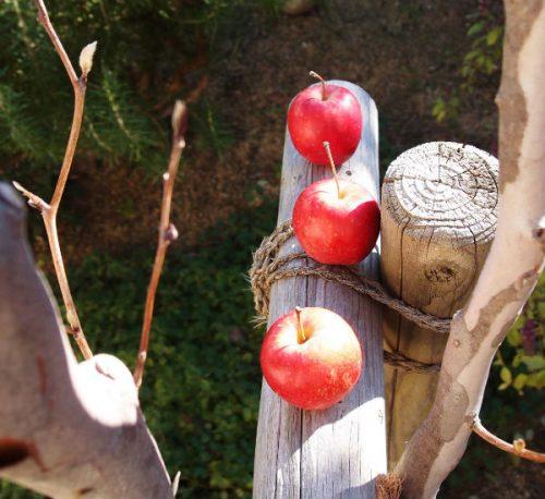 これはね、花屋さんで見つけた小さなりんご。りんごかわいいなぁ。